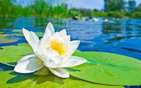 Lotus Flower Parts - lotus flower meaning and symbolism mythologian net