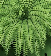 the basics of growing ferns indoors