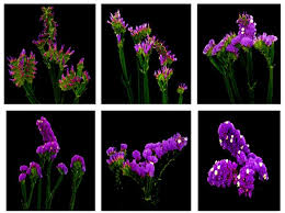 statice flowers statice care tips proflowers