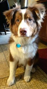australian shepherd and cats 304 best images about dogs on pinterest border collies