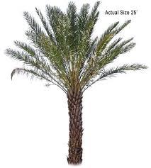 date palm tree deglet noor dactylifera large date palm