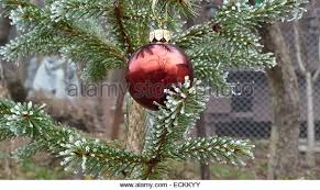 frosted pine tree branch stock photos frosted pine