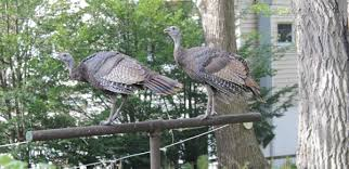 Backyard Turkeys Talking Turkey U2013 Park Bugle