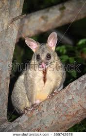 Possum In My Backyard Possum Stock Images Royalty Free Images U0026 Vectors Shutterstock