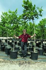 plantmegreen bare root pecan trees for sale buy pecan trees