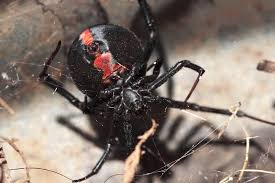 black widow spider eats mate google søk spiders pinterest