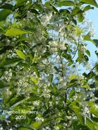 pterostyrax the epaulette tree is one of those known