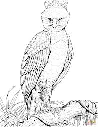 harpy eagle super coloring rainforest outlines pinterest