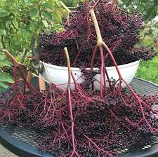 elderberry farms native plant nursery perennial power 5 fruit and nut trees you should plant this fall