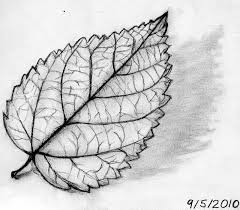 drawn leaf sketched pencil and in color drawn leaf sketched