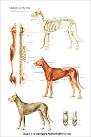 Internal Dog Anatomy Veterinary Acupuncture Books And Charts