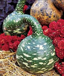 gourd speckled swan extravagantly lovely swan necked ornamental
