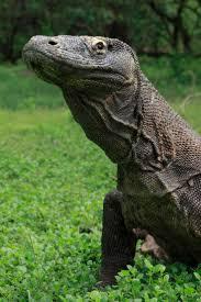341 best lizards etc images on pinterest animals iguanas and