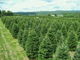 photo gallery our fraser fir and select balsam christmas trees