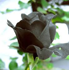 Black Rose Flower Black Roses Flower Picture More Detailed Picture About 200 Piece
