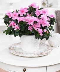 Japanese House Plants Buy House Plants Now Japanese Azalea U0027terra Nova U0027 Bakker Com
