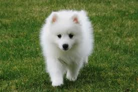 american eskimo dog small japanese spitz dog puppy dog gallery