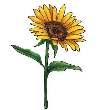 sunflower oil truth beauty