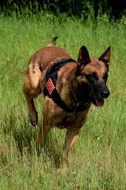 belgian shepherd diesel latest uploaded pictures in the database