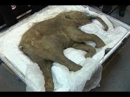 baby woolly mammoth travels hong kong