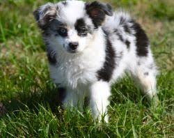 australian shepherd breeders los angeles australian cobberdog puppies dogs puppies for sale in united