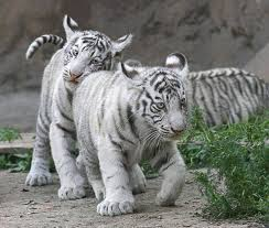 white tiger cubs by saqopakajmer on deviantart