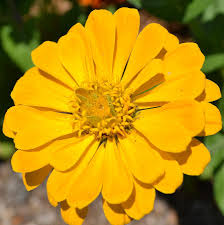 Zinnia Flower Yellow Zinnia Flower Photograph By P S