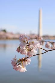 National Cherry Blossom Festival by National Cherry Blossom Festival Fun Facts Hgtv