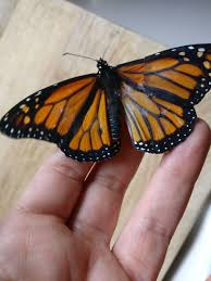 performs surgery on monarch butterfly with broken wing
