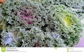 ornamental kale plants for sale image info