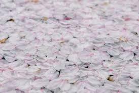 jeffrey friedl u0027s blog cherry blossom u201csnow u201d and some so so