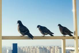tauben auf dem balkon tauben auf dem balkon so vertreiben sie sie dauerhaft