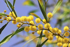 Tree With Bright Yellow Flowers - how to grow a mimosa tree hunker