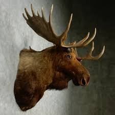 alaskan moose head for sale 12784 the taxidermy store