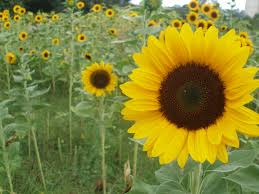 sunflowers for sale thy hath provided how to plant grow cut sunflowers to sell