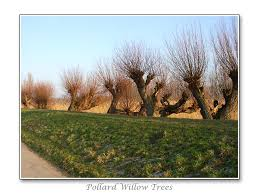 pollard willow trees by lines wilgen pinterest willow tree