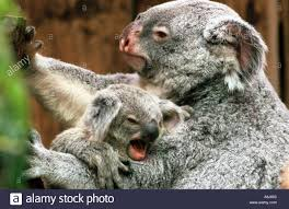 koala bear with cub stock photo royalty free image 2238050 alamy