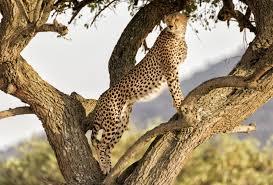 amazing facts about the cheetah onekindplanet animal education