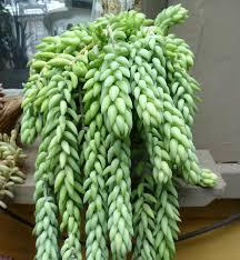 autumn joy donkey u0027s tail and few others u2026 plants houseplant and