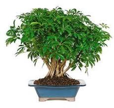 hawaiian umbrella bonsai tree braided trunk style arboricola