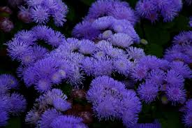 purple and blue flowers blue anemone flower flowers free nature pictures by
