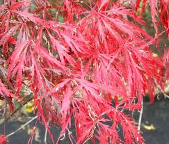 our maple tree japanese cutleaf maple