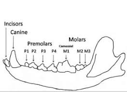 Dog Tooth Anatomy What Are Dog Incisors Used For Daily Dog Discoveries
