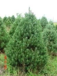 scotch pine christmas tree ben s christmas tree farm 630 279 0216 9 varieties of trees