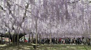 purple reign wisteria mania starts at tochigi flower park the