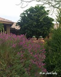 Fall Garden Plants Texas - purple blooms for the fall garden ramblings from a desert garden