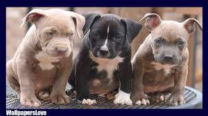 american pitbull terrier wanted pitbull hd wallpaper android apps on google play