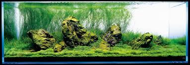 japanese aquarium nature aquarium photographs amanotakashi net