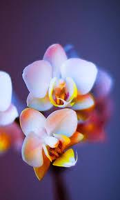 flower wallpaper for nokia x orchids nokia x wallpaper nokia x and nokia xl wallpapers