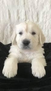 australian shepherd puppies for sale 34655 labrador retriever puppy for sale in east earl pa adn 35252 on